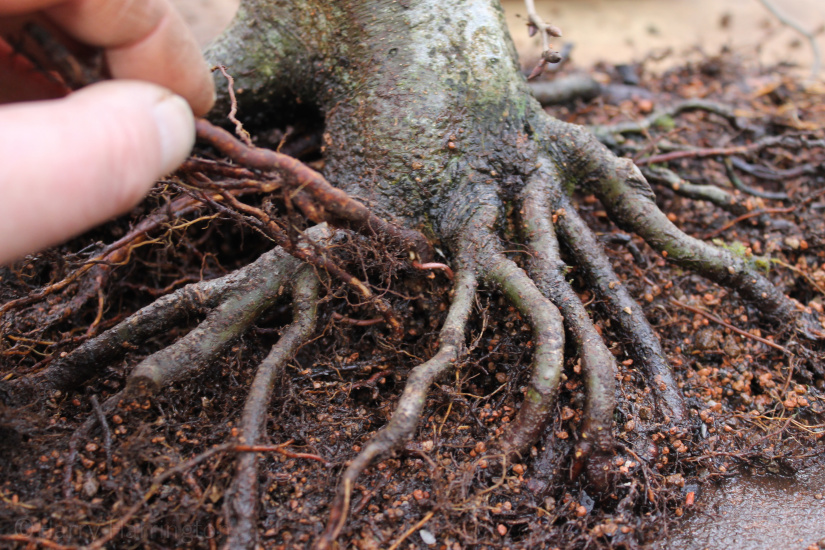 bonsai repotting and grafting